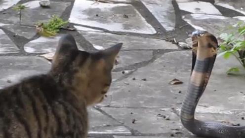 猫咪VS眼镜蛇,一巴掌上去,蛇头都被打歪了