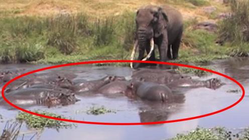 一头大象在河中遇到20只河马!下秒意外发生,河马瞬间不淡定!