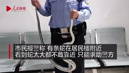 一米多长蛇吓到居民 民警徒手捕抓:这有什么吓人的