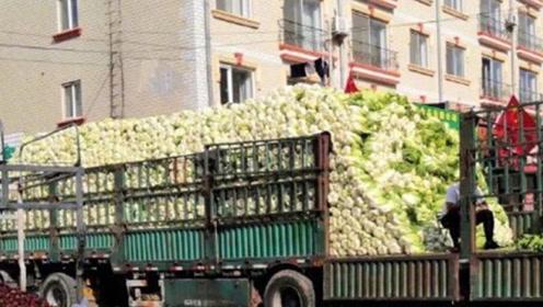 又到了东北买冬菜的季节了,你家买了几百斤白菜呢?