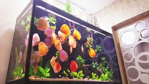 家里养一缸如此漂亮的野生七彩鱼,估计亲戚朋友看见了都会心动不已