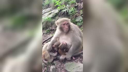 猴妈妈带两个宝?!