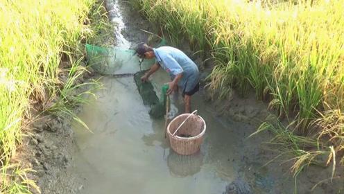 稻田里的排水沟,地笼在此放置了一晚,倒出一看,收获真喜人