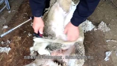 主人把公羊强行剪毛,没成想公羊记仇了,竟在主人出行的半路等着他