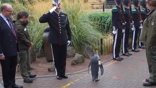 """全世界最牛的企鹅,拥有""""准将""""军衔,士官见了它都要敬礼!"""