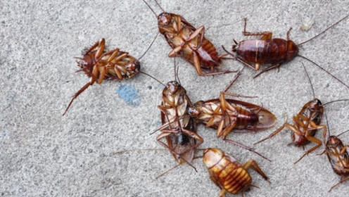 家里有蟑螂不要踩,教你消灭蟑螂小方法,效果太棒了,省钱又实用