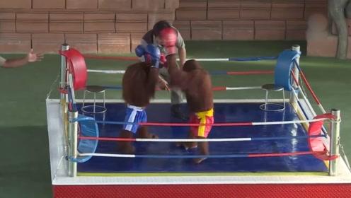 动物园里的猴子,上演一场拳击擂台赛,百分百搞笑还原比赛现场