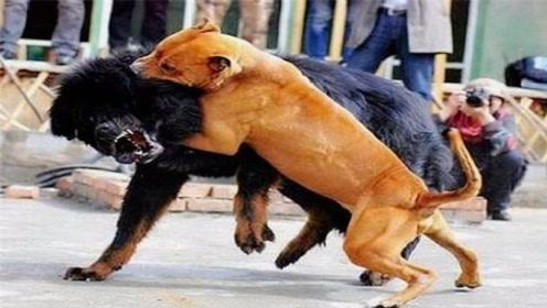 日本猛犬土佐VS中国藏獒,瞬间就把藏獒扑倒在地,场面太惨烈!