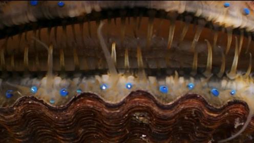 太恐怖了,显微镜放大后的扇贝,竟足足有200多只眼睛