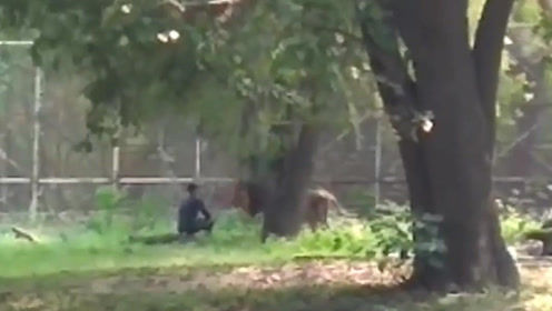 作死!印度一醉酒男子跃入狮子围栏 险些酿成悲剧