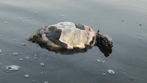 河里漂浮着巨大龟壳,男子好奇翻过来,眼前一幕不淡定了!