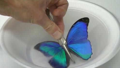 男子把蝴蝶翅膀放入液氮,滴上酒精后颜色都变了,网友:没意义!