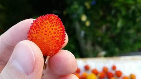 草莓见过还吃过,但草莓树又是什么东西?网友:欺负我没见过?