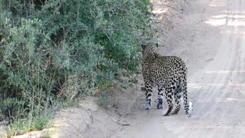 豹子突然站在路中央不肯走,5秒后惊喜出现了!镜头记录全过程