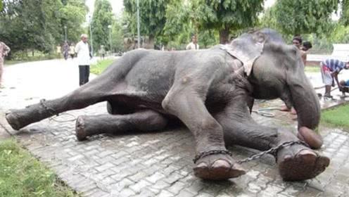 这头大象被铁链囚禁了50年,获救之后,做出的事让人感动
