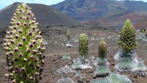 60年开一次花的神秘植物,最高达到1.8米,只生长在火山附近