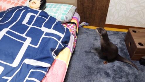"""主人的床上躺着一个""""怪叔叔"""",水獭看到后,接下来的反应笑翻了"""