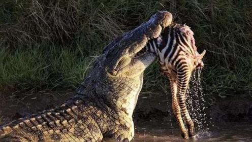 咬合力最强的动物,竟不是呆萌的河马,而是能一口粉碎海龟的湾鳄