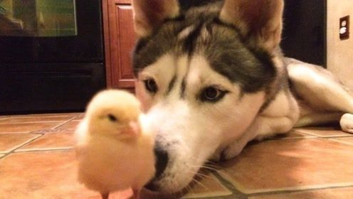 主人把二哈撵出家门,岂料鸭子也跟着屁股后面走了,主人看着又气又笑