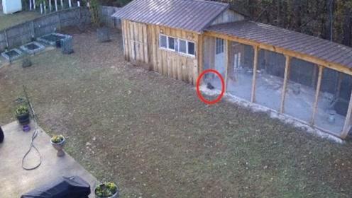 老鹰袭击鸡窝,一个猛冲过去,却没有看见透明的玻璃