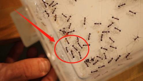 老外将磁铁靠近蚂蚁,反应让人出乎意料,蚂蚁:别再让我看见你
