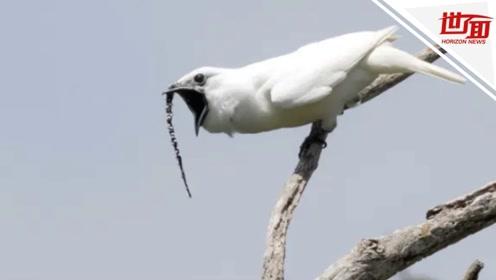 """鸟中""""电音王""""!这种鸟为了谈恋爱喊破嗓门破纪录"""