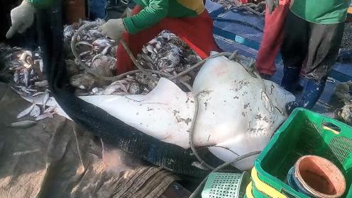 渔民捕获大型犁头鳐,这鱼全身都是鱼翅!