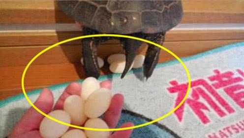 男子养了20年的乌龟突然下蛋,放到锅里煮,立马不淡定了!