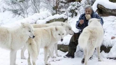 """79岁老人成""""狼王"""",与狼群一起生活40年,忠诚度不输狗狗"""
