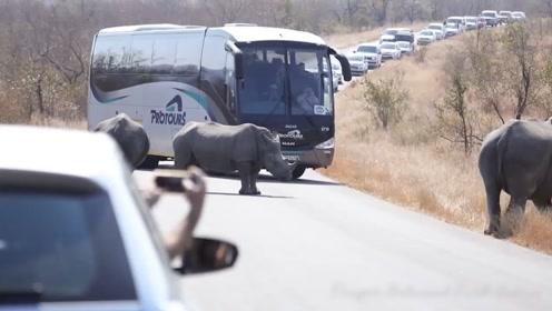有意思,犀牛挡住大客车的去路,司机尝试几次,愣是没敢过