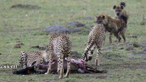 草原夺食大战!鬣狗偷袭从猎豹嘴中夺食,夺食不成直接掏肛猎豹