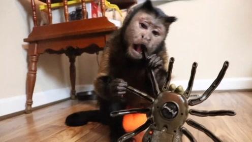 小猴子也怕蜘蛛?主人买来巨型狼蛛玩具,猴子吓得上蹿下跳