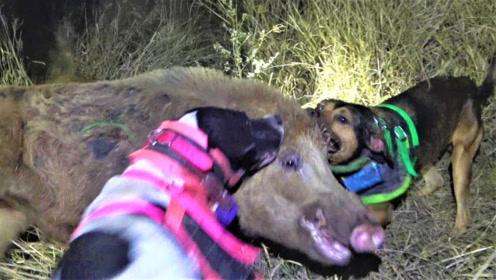带着猎狗深夜狩猎野猪,最终野猪败下阵来,这下又有野猪肉吃了