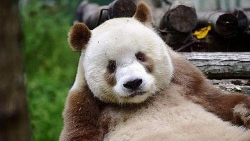 世界上仅剩一只棕色熊猫,被称宝中之宝,整天吃香喝辣的