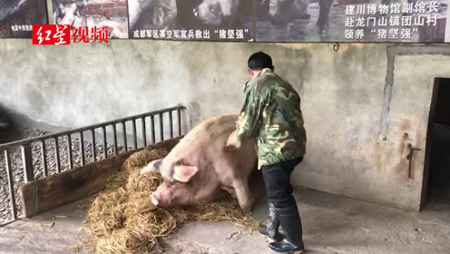 现场探访猪坚强:需要人扶才能站起来 胃口依然挺好