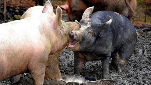 主人把家猪和野猪一起养,不料发生了惨烈的战斗,镜头拍下全过程