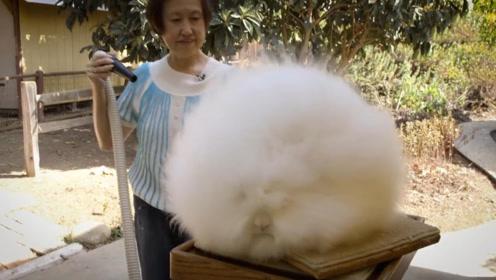 世界上最长毛的兔子,长15英寸,看起来像个棉花糖