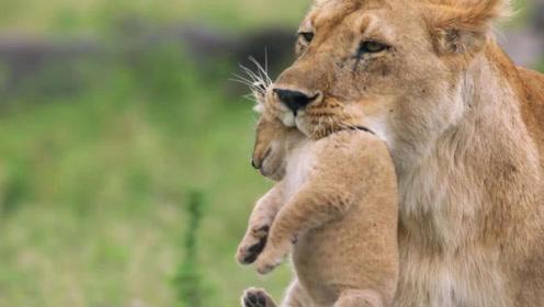 老年狮子会被饿死,而年老的老虎却不会,这是为什么?