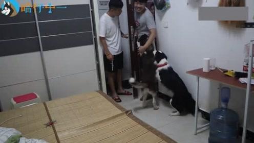 哈士奇:家里来了小偷,看我如何守住这个家!