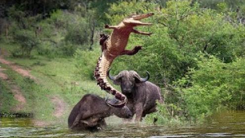一头野牛被鳄鱼咬住了,旁边的水牛却怒了,冲了上去将鳄鱼顶飞!