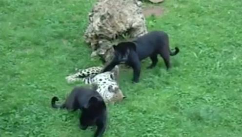黑豹和花豹互看不顺眼,黑豹按住花豹:服不服,你这只假豹子