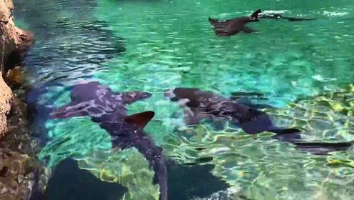 别人养锦鲤作宠物,而这老外的宠物是大鲨鱼,还亲自下水陪玩!