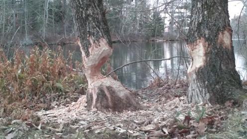 河边两棵大树被咬断,男子好奇放置摄影机,终于找到罪魁祸首