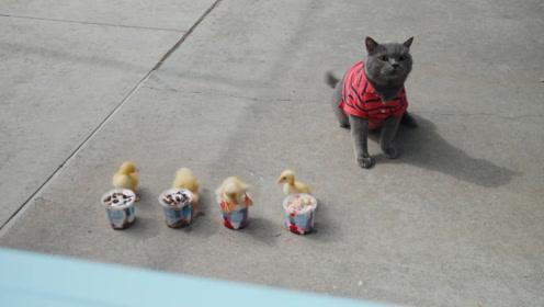 跨种族的友情,猫咪护送小鸭子过马路,还会给它们买冰激凌吃