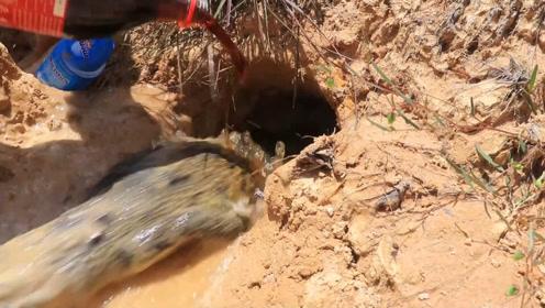 男子将大瓶可乐猛灌沙洞,下一秒,洞里居然窜出了一头猛兽!
