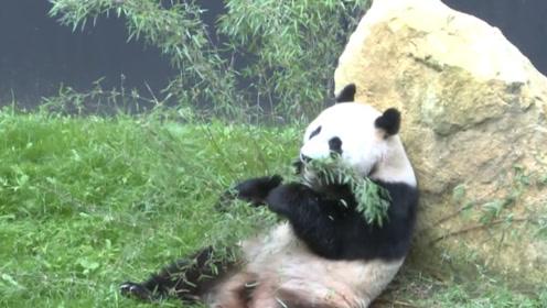 """借给荷兰的大熊猫火了,原以为是去旅游,没想到是去""""登基""""!"""