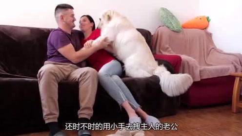最爱吃醋的宠物,连主人的爱情都不放在眼里,狗狗:我不能是单身