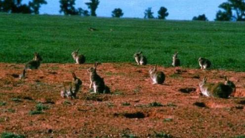 为啥澳洲宁愿用战斗机对付100亿只兔子,也不愿吃它?当地人:吃不得