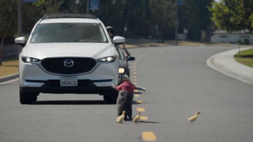 猫咪对几只小鸭子一见钟情,天天腻歪,过马路还会帮它们拦汽车