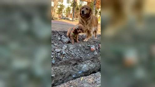 让金毛跟泰迪过坑,一个有胆量一个有智商,养这样的狗狗才有意思